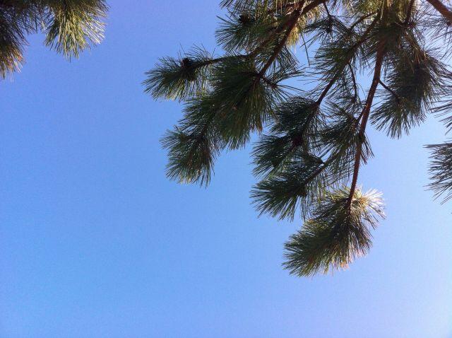 pine tree and sunshine, Cape Breton in June