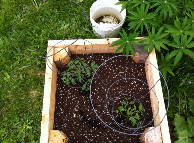Tomato plants in a larch wood box. Cape Breton, NS.